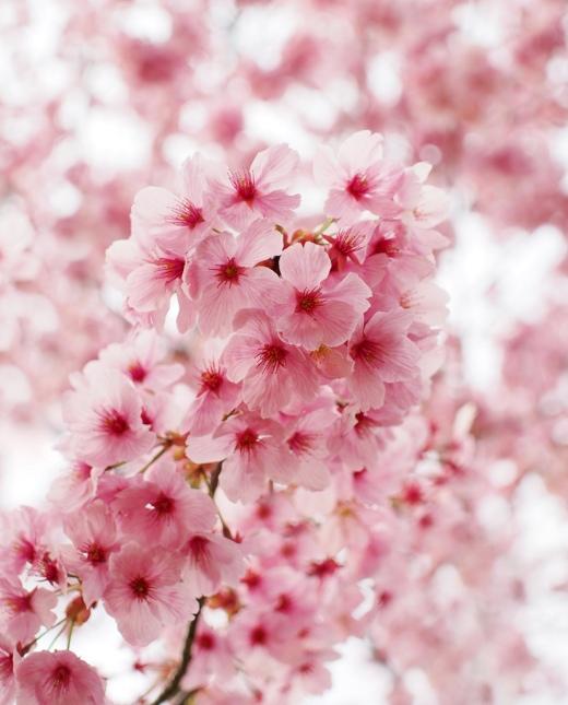 Ciliegi in fiore al giardino botanico di Kyoto