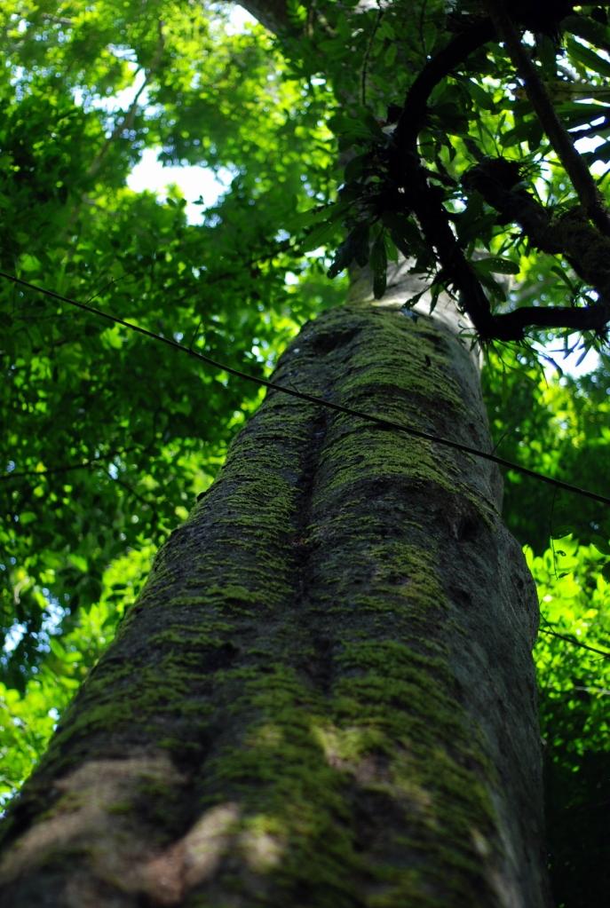 Hiking in the jungle: Nam Ha tree