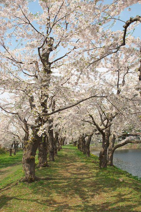 600px-Cherry_of_Goryokaku_五稜郭の桜_(2496769211) (1)