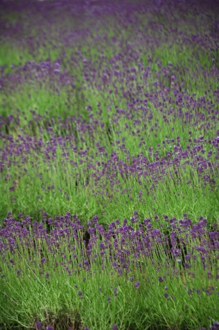 Lavender in Furano at Farm Tomita