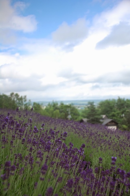 Lavender fields in Furano, at Farm Tomita